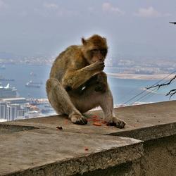 De apen van Gibraltar  4