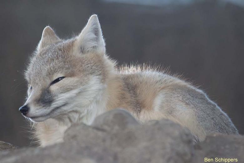 Swift vos - De foto is 2e kerstdag genomen in diergaarde Blijdorp, door het glas heen