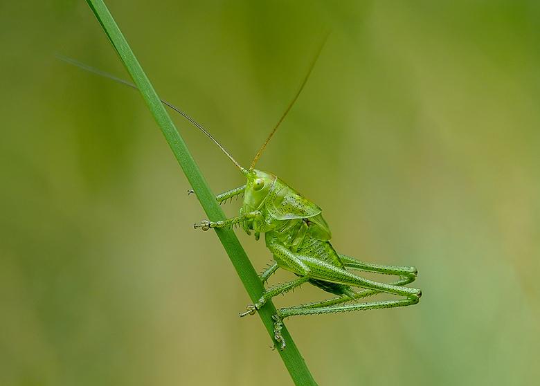 Grote Groene Sabelsprinkhaan -