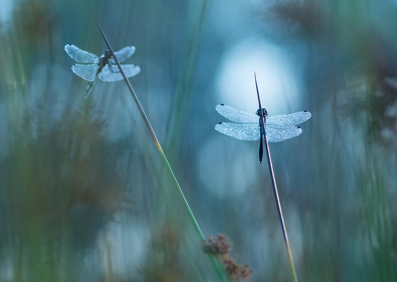 Zwarte heidelibel - Tijdens een mooie vroege ochtend kon ik dit feeërieke plaatje van twee bedauwde Zwarte heidelibellen maken,  ben er wel blij mee <