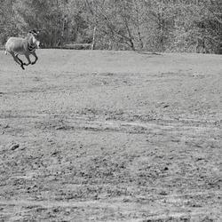 Zebra on the run