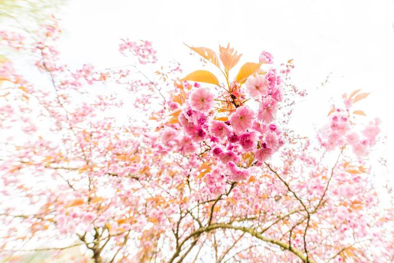 Boom vol met bloesem - Een boom vol met bloesem eens vastgelegd met een groothoeklens om te een ander beeld op de bloesem te krijgen.