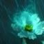 Witte Cosmos bloem