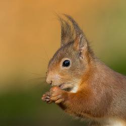 Eekhoorn portret