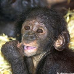 Bonobo Baby.