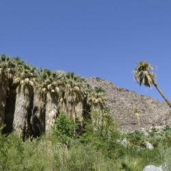 Borrego Palm Canyon Oase