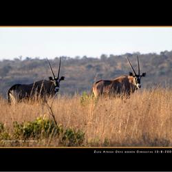 Oryx bokken