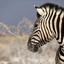 Zebra haarstyling