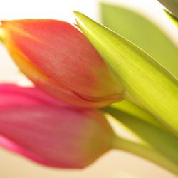 Backlight Tulips
