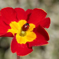 De kleuren van een primula