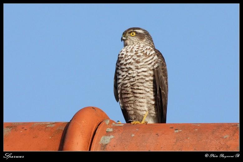 Sperwer - Deze zat bij mijn buurman op het dak gisteren.<br /> Canon 300F4 IS + 1,5 Kenko converter.