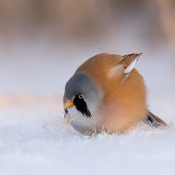 baardman in de sneeuw