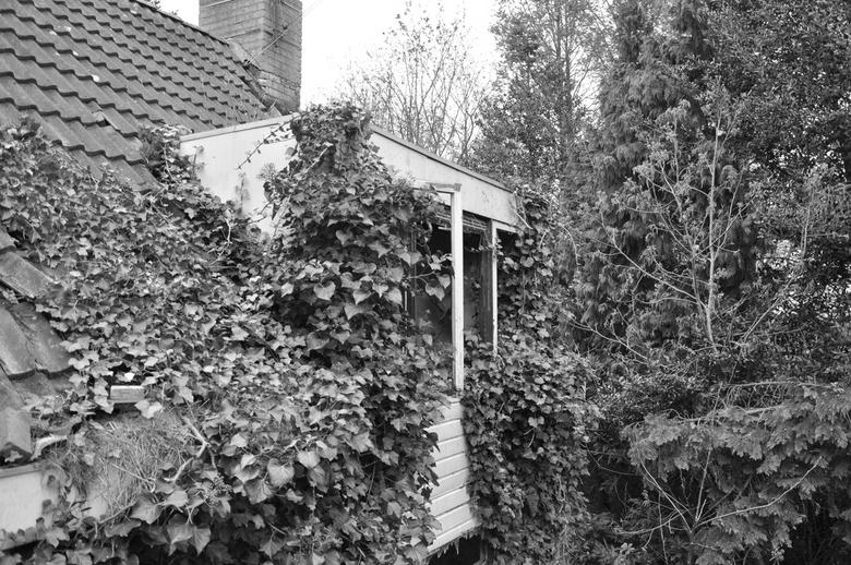 Overwoekerd  - Vervallen woning naast het kerkhof 'Zegestede' in Roosendaal. De woning is helemaal overwoekerd door klimop planten en andere