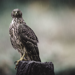 Jonge Havik in de regen