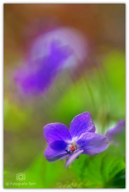 """maarts viooltje - vandaag tussen de windt door gemaakt <img  src=""""/images/smileys/smile.png""""/>"""