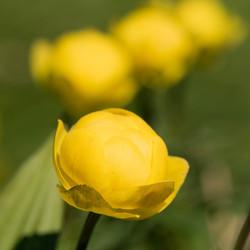Ranonkel bloem