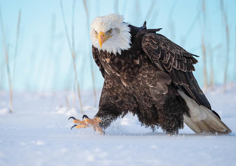 Op pad.. - Ik vond het heerlijk om op het besneeuwde strand te liggen tussen deze machtige vogels. Ze zijn niet schuw dus je kan redelijk dichtbij kom
