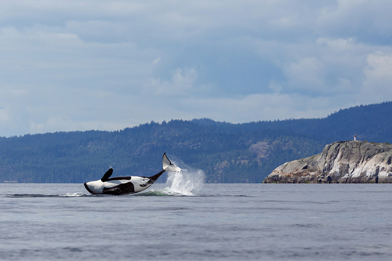Jumping Orka - Tijdens de vakantie in Canada een groep orka's op de foto kunnen zetten. Wat op zich al erg spectaculair is maar toen ze nog eens