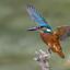IJsvogel slaat vleugels uit