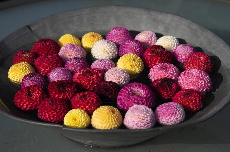 Kleuren.... - Van de Dahlia's