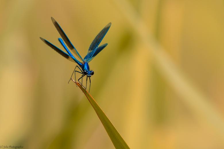 Golden Environment - Meestal zit de weidebeekjuffer met gesloten vleugel op een stengel of takje, maar net voor het wegvliegen gaan de vleugels open e