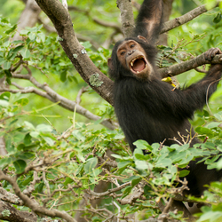 Chimp juvenile screaming Tabora.jpg