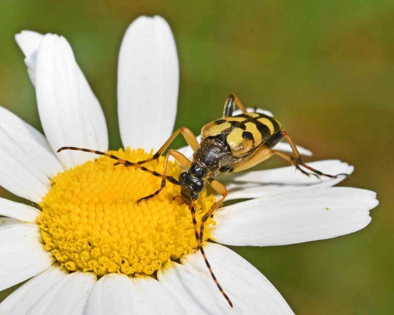 om door een ringetje te halen - De geringelde smalboktor (rutpela maculata) is gemakkelijk te herkennen aan zijn antennes. Het is de enige -in Nederla