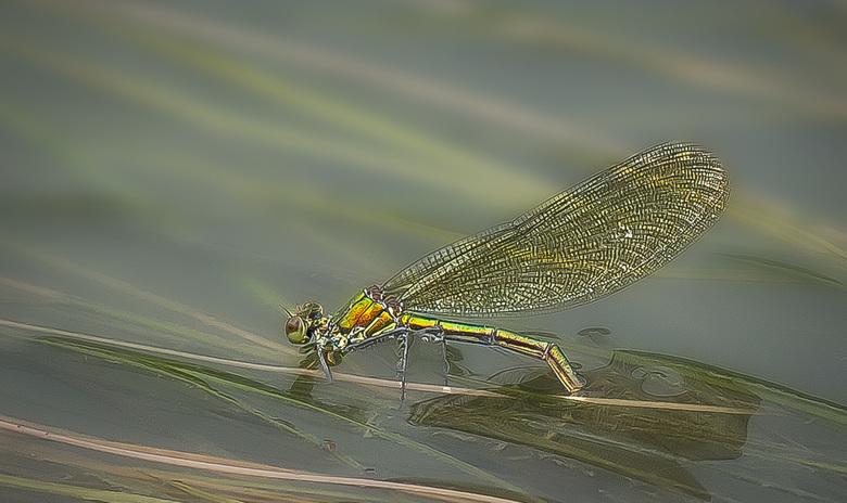weidebeekjuffer  - liggend op een vlonder, boven het water kon ik deze weidebeekjuffer -vrouwtje- goed voor de lens krijgen.<br /> <br /> Allen beda