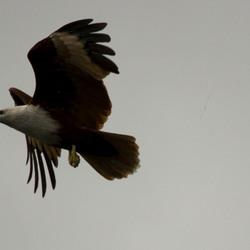 adelaar op langkawi