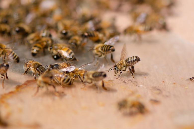 """Bijenkontjes - De koningin is uitgevlogen en alle bijenkontjes gaan omhoog! Uitscheiding van feromonen, ze zeggen tegen elkaar """"Hier moet je zijn"""