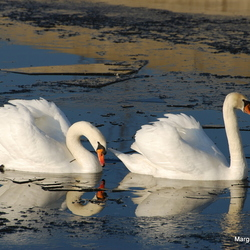 Twee zwanen zwemmen in ijs