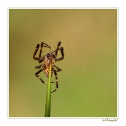 Spider on Top *