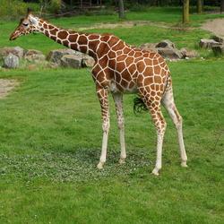 Giraffe Diergaarde Blijdorp