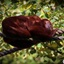Rode brulaap