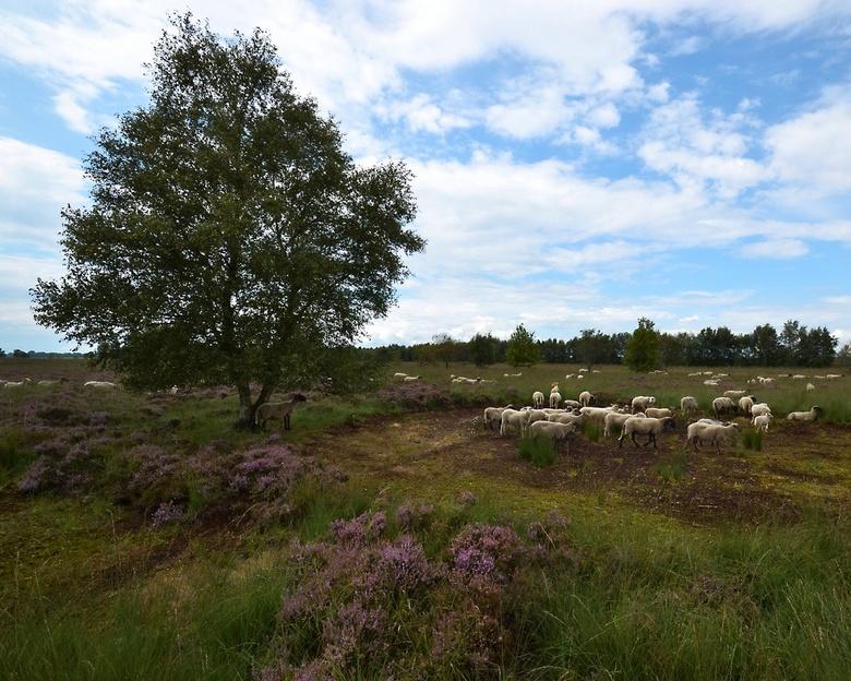 Schaapjes......... - ........in het natuurgebied Bargerveen in Drenthe.