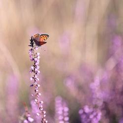 heide vlinder