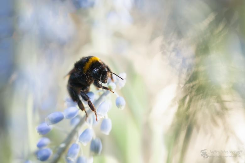 Last flight of a bumble bee - Vorige week maandag 25/01/16, was nog een mooie warme dag voor winterse begrippen.<br /> Kwam deze hommel tegen in de b