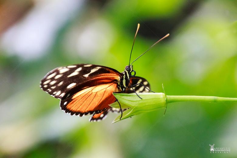 Vlinders aan de Vliet - De Heliconius hecale vlinder op een bloem bij Vlinders aan de Vliet in Leidschendam.