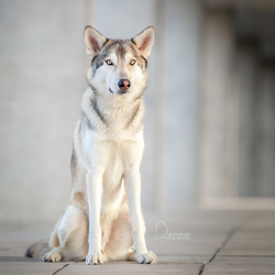 Tamaskan wolfdog in the city