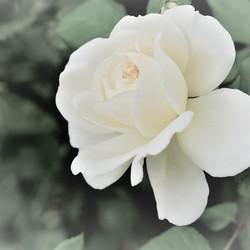 roos bewerkt