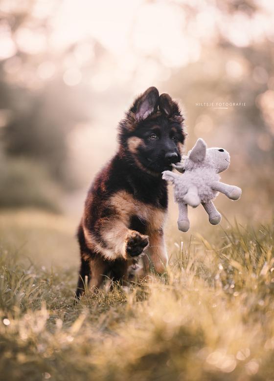 Morax met speeltje - Puppy in zijn nopjes met zijn schaap