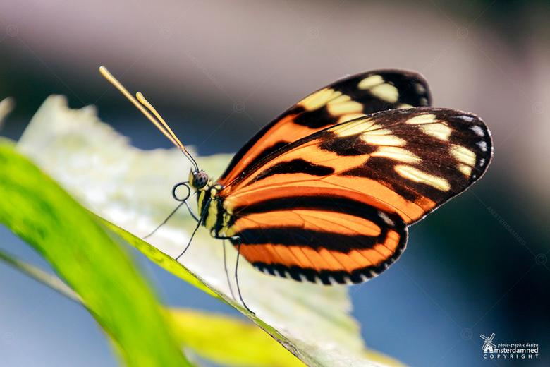 Tiger Longwing vlinder - De Heliconius hecale vlinder komt voor van Mexico tot Peru, zowel voor in open weilanden als in tropische regenwouden.<br />
