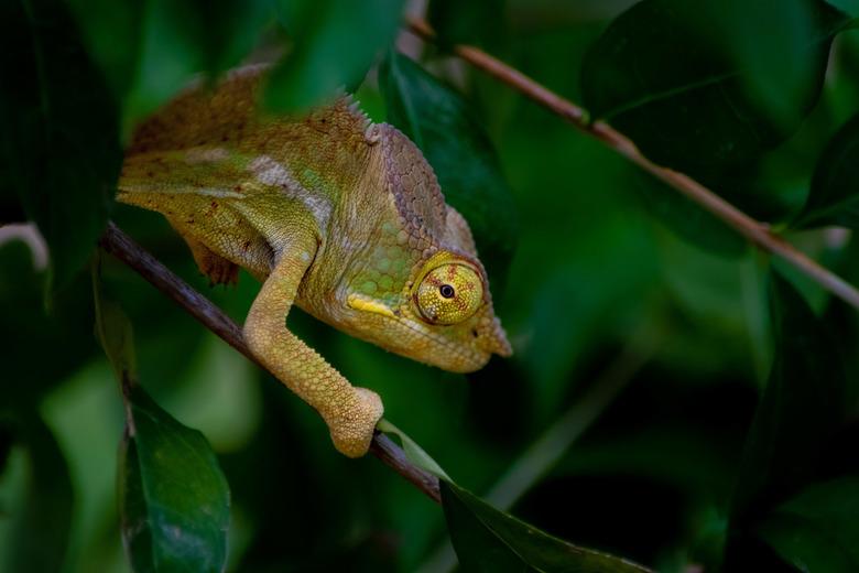 Kameleon - Het zoeken van dit<br /> Beestje kosten veel tijd maar zo blij dat die op de foto staat!