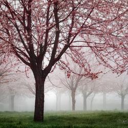 Cherry Blossom Canopy.