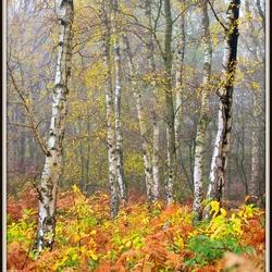 berken in herfstbos
