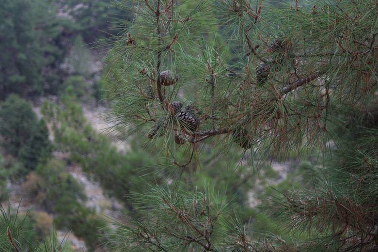 Denneappels  - Niet zo'n heel bijzondere foto ,maar  de pijnbomen in Turkije zijn soms wel heel mooi ,lijken net bonzai's ,ik weet niet waar