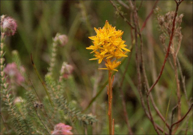 Beenbreek - Kwam een heel veld bloeiende Beenbreek tegen  bijTubbergen