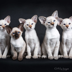 Siamese kitten row