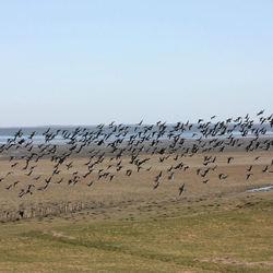 opvliegende ganzen aan het Wad