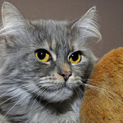 Maine Coon poes